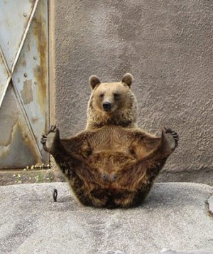 "bear demonstrating yoga posture ""dancing bear"""